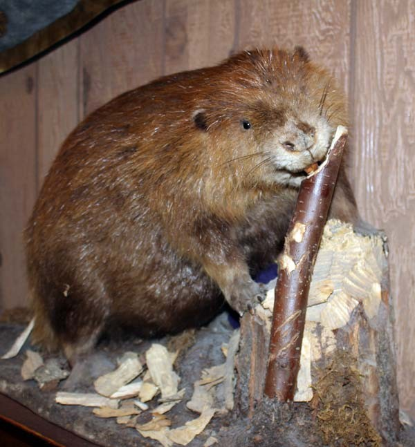 sidebar-beaver